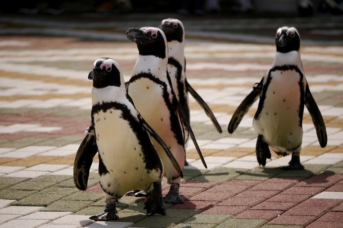 ペンギンパレードでは、アドベンチャーワールド敷地内を複数のペンギンたちが行進します。幼い子どものように、ヨチヨチと歩くペンギンの愛らしい姿は必見です。