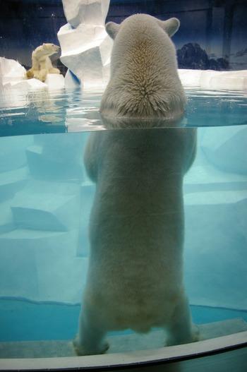 ぬいぐるみのようだったホッキョクグマの赤ちゃんも、今ではすっかり成長し、立派な体格をしたりりしい姿になっています。