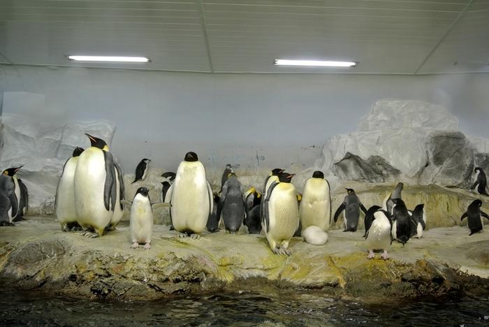 アドベンチャーワールドでは南極大陸、その周辺に棲むたくさんのペンギンたちが飼育されています。極寒の地を再現したペンギン館で数多くのペンギンたちがよちよちと歩いている様は、南極大陸の縮図のようです。