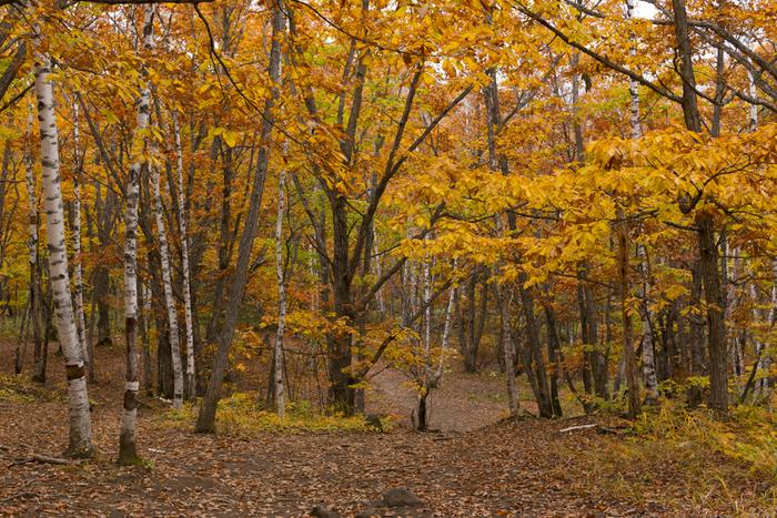 原生林の森では、様々な落葉樹が自生しています。秋になると、樹々が一斉に紅葉し、森の中を歩いていると色鮮やかなトンネルに入り込んだような気分を覚えます。