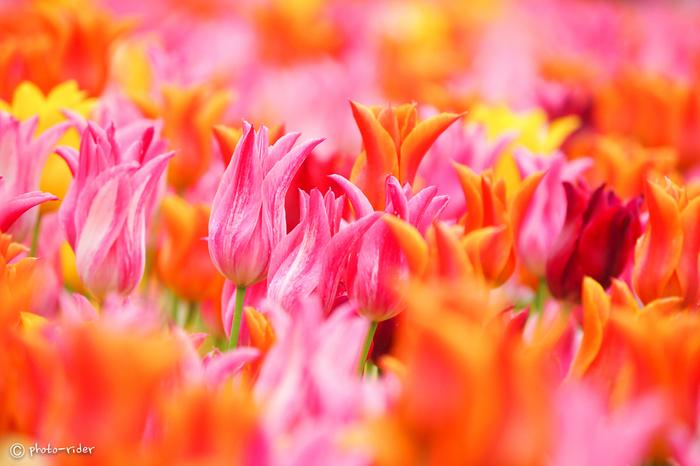 なばなの里では、様々な種類のチューリップが咲きます。普段はあまり目にすることがない珍しい花びらをしたチューリップの姿を見ることもできます。