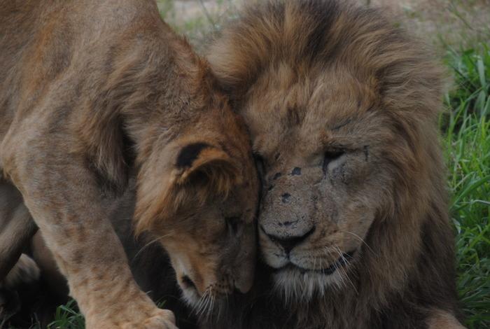 アドベンチャーワールドで飼育されているのは、海に棲む生きものたちだけではありません。サファリゾーンでは、百獣の王、ライオンの姿を見ることができます。
