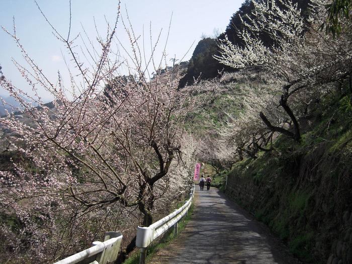 月ヶ瀬梅林と並び、関西における梅の名所として知られる賀名生梅林には約20000本もの梅が植栽されています。