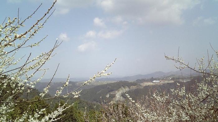 丘陵地帯を覆い尽くす梅林を登る途中で、立ち止まって歩いてきた道を見渡してみましょう。日本の原風景ともいえる、のどかな田園風景と梅林が見事に融和し、水墨画のような景色が広がっています。