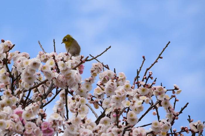 梅林では、花の蜜を吸うメジロの姿を見かけることができます。黄緑色をした愛らしい小鳥、メジロは、咲き誇る梅の美しさを引き立てています。