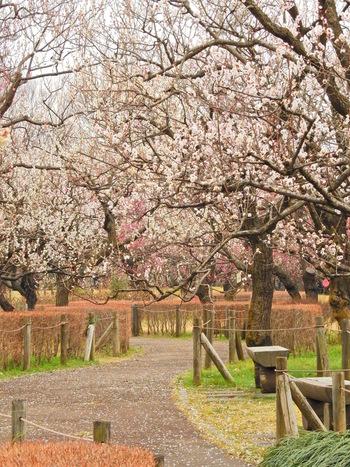府中市郷土の森博物館では、紅梅、白梅、八重完売、新茶青、牡丹枝垂、白加賀、紅枝垂など、約60種類、1100本の梅が植栽されています。