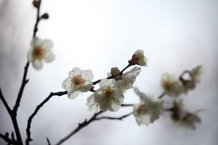 小石川後楽園では、紅梅、白梅といった一般的な種類だけでなく、透き通るような花びらを持つ梅など、数々の珍しい品種の梅が植栽されています。