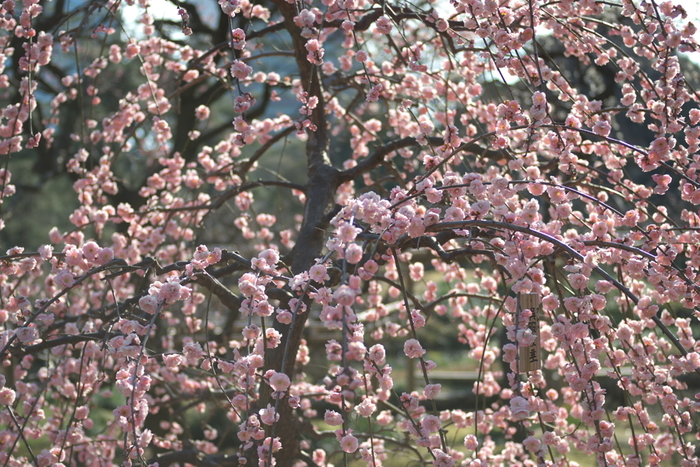 満開に咲き誇る枝垂梅の下に立ってみましょう。まるで空から薄桃色の花が降り注いでいるかのような錯覚を感じます。