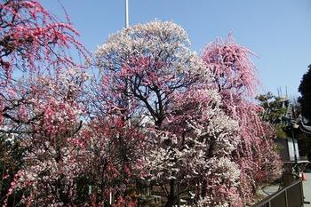 香梅園は、東京都墨田区にある小村井香取神社境内にある梅林です。ここは、江戸時代に梅の名所として知られていた「小村井梅屋敷梅園」を再現したものです。