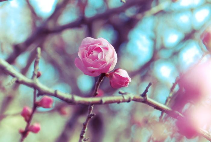 梅林としての規模は小さいものの、香梅園には珍しい品種の梅が数多く植栽されています。なかには、薔薇の花を連想させる梅の花の姿を見かけることができます。