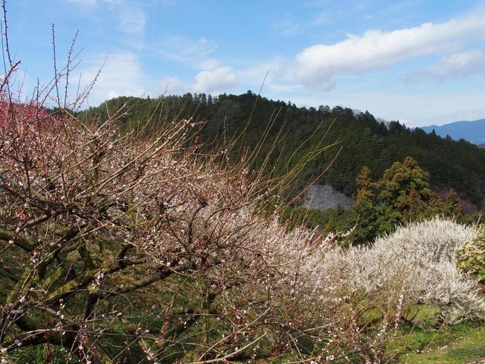奈良県三大梅林(月ヶ瀬梅林、賀名生梅林、広橋梅林)のひとつに数えられる広橋梅林は、広橋峠の斜面一帯に約5000本の梅が植栽されています。