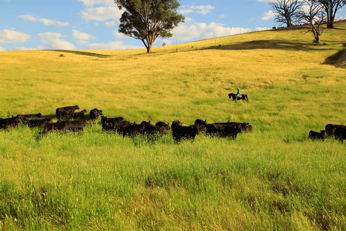 主なビーフの産地である、オーストラリアにある農場。家族で経営している広大な農場で、牛たちは自然が育てた牧草のみを食べ、のびのびと育っています。