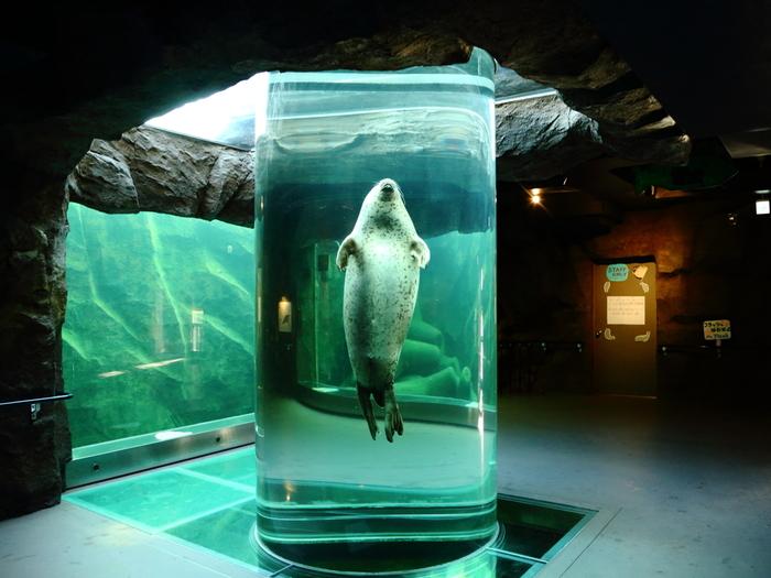 アザラシは特徴的な泳ぎ方をします。アザラシ館の円柱水槽では、ガラスのトンネルをすいすいと泳いでゆく、珍しいアザラシの姿を観察することができます。