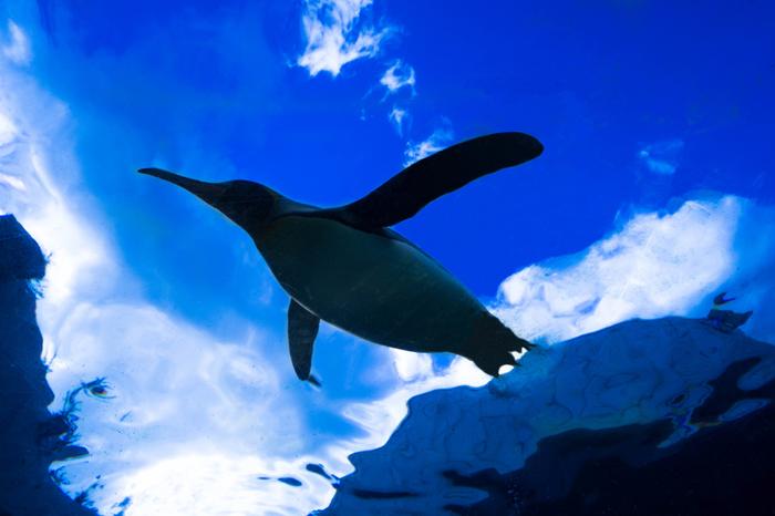 旭山動物園は、動物の見せ方にもこだわりがあります。水中で華麗に泳ぎ回るペンギンを真下から眺めると、まるでペンギンが大空を羽ばたいているかのような錯覚を感じます。