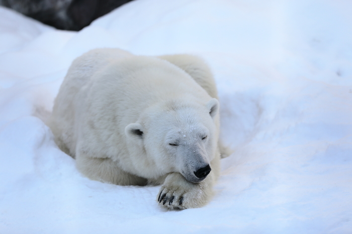冬になると、ホッキョクグマ館の屋外は雪に覆われます。雪の上を気持ちよさそうに寝ているホッキョクグマの姿は、訪れる人を笑顔にしてくれます。