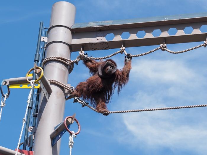 オランウータン舎では、旭山動物園名物の「オランウータンの綱わたり」を見ることができます。