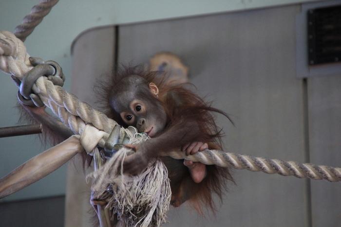 オランウータンは子供の時から木登りや綱渡りがとっても上手です。オランウータンの子供が無邪気に遊ぶ様子は、人間の子供が遊んでいる様子とそっくりです。