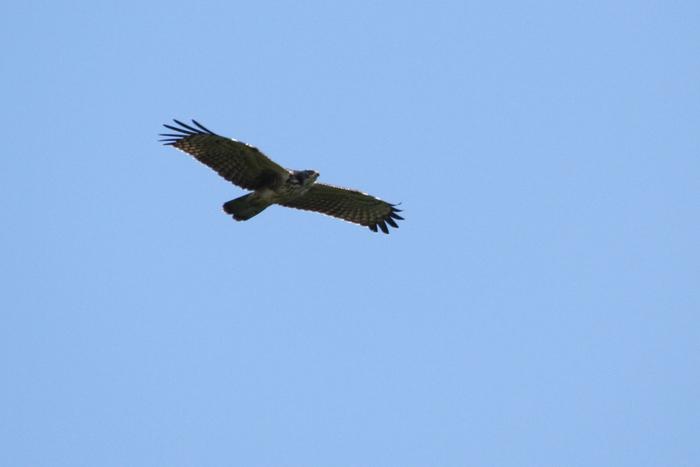 春から夏にかけて子育てを終えたタカたちは、越冬のために9月頃から南国へ渡ってゆきます。頭上には、サシバやハチクマといった雄々しい猛禽類が上昇気流にのって高度を上げてゆく様子は迫力満点です。