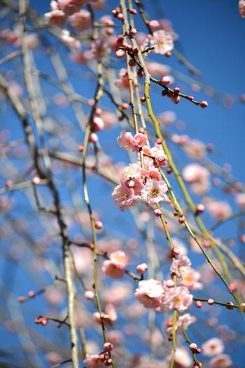 境内には、寒紅梅、月影、白加賀、豊後梅、都錦、冬至梅、都錦、見驚梅など数多くの梅が植栽されており、その数約300本にもおよびます。