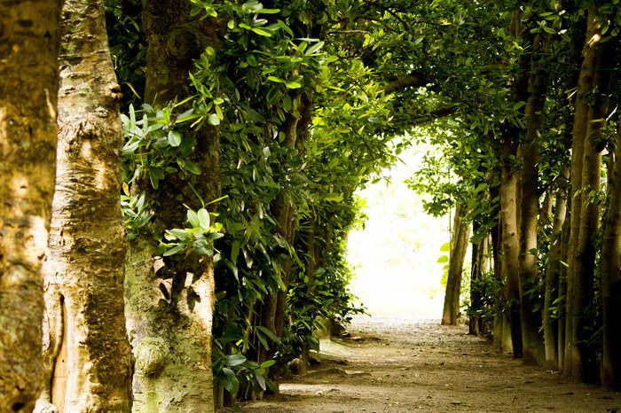 沖縄の原風景を残す備瀬集落では、集落を風や砂から守るフクギ並木が植樹されています。