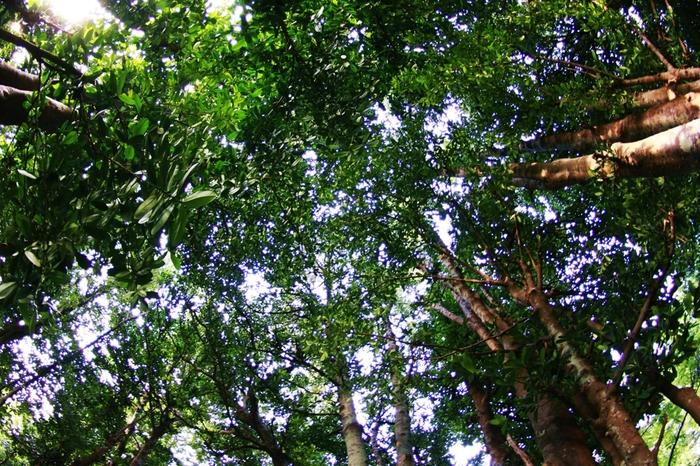数千本にも及ぶ備瀬のフクギ並木は、まるで緑のトンネルのようです。ゆったりとした時間が流れる備瀬集落を歩くとき、ふと視線を空に向けてみましょう。緑のトンネルから差し込む木漏れ日の気持ちよさは格別です。