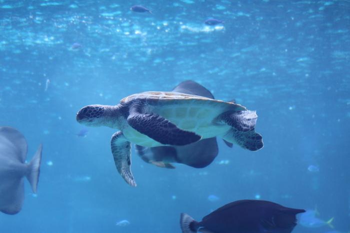 ウミガメ館では、5種類のウミガメが飼育されています。地下の観覧室からは、ウミガメたちが自由自在に泳ぐ様子を観察することができます。