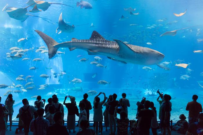 「沖縄の海との出会い」をコンセプトにしている沖縄美ら海水族館は、沖縄県を代表する観光スポットです。7500立法メートルの大水槽「黒潮の海」では、ジンベエザメやマンタが優雅に泳いでおり、迫力満点です。