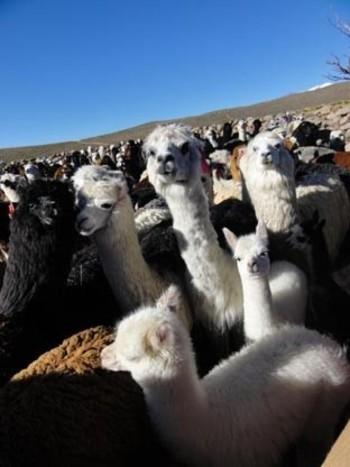 アルパカが放牧されているアンデスは高さおよそ4000~4500mほど。自らの身を寒さから守るために、アルパカの毛は保温性にとても優れています。手紡ぎ・手編み・手織りでつくられたアルパカ製品は、空気がほどよく含まれ、ふんわりとしたやさしいあたたかさ。