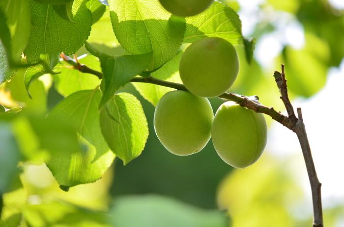 果実酒の定番といえばなんといっても「梅酒」!基本の梅酒の作り方を見てみましょう。   用意するもの ・梅  1kgくらい ・お酒 1.8L ・砂糖 700gくらい ・瓶  梅酒用のガラスの瓶