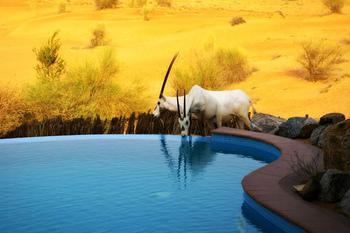 砂漠に生息しているオリックス達も、プールの水を飲みにやってくるかもしれません。
