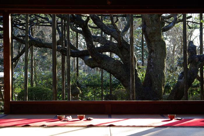 """【""""五葉の松""""は、樹齢約700年の名木。】"""
