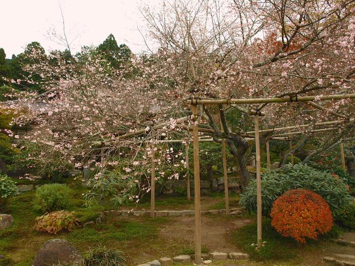 【「旧理覚院庭園」の不断桜】