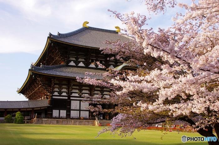春になると、大仏殿の周辺には見事な桜が咲きます。淡ピンク色の桜の花びらは、大仏殿の堂々とした佇まいに華を添えています。