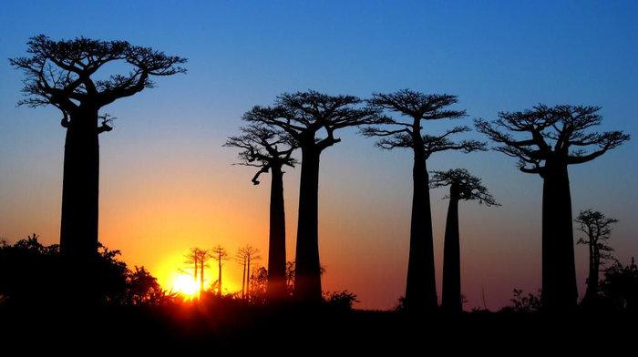 アフリカやオーストラリア(一部)などのサバンナ地帯に多く生息するバオバブの木。その高さはおよそ30メートルで直径は10メートルにもなるといわれています。マダガスカルの西海岸にあるモロンダバという町から車で30分ほどいくと、観光地として人気のあるバオバブ街道があります。道の両はしにたたずんだバオバブがお出迎え。