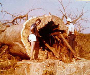 バオバブの木の中は空洞になっていることが多く、水分を沢山含んでいます。バオバブの木は乾季になると葉を落とし、幹に蓄えた水分で雨のない時期を乗り越えます。