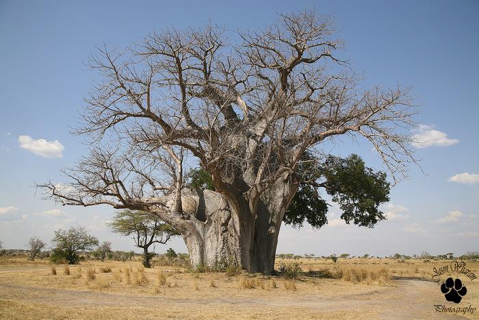 バオバブの木には年輪がないので樹齢を測定することはできませんが、古い木では数千年~数百年にもなるそうです。