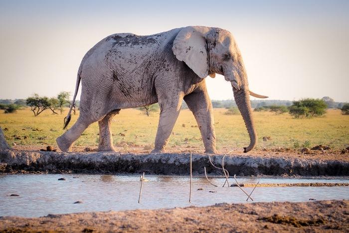 バオバブにも環境問題の波が襲います。地球の異常気象により、アフリカの降雨量が減少。その影響で水不足になり、象が水分を沢山含むバオバブの木を食べ枯れてしまうという現象が起きています。