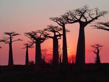 夕日を浴びたバオバブの木も素敵ですね。精霊が宿る木として昔は切り倒されることのなかったバオバブの木ですが、今では宅地開発などの影響を受け伐採されていることも問題となっています。