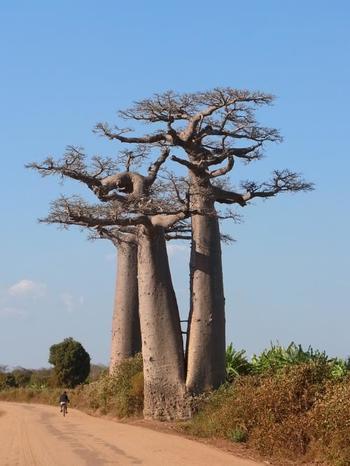 バオバブの木は古代からずっと原住民を見守ってきました。大きくそびえ立つ木の高さは照りつける太陽や雨風から人を守り、果肉が豊富な実は食料となり人々を飢えから救います。樹皮は薬やロープとして活用されていました。現地の人にとって、バオバブの木は生活そのものだったのですね。