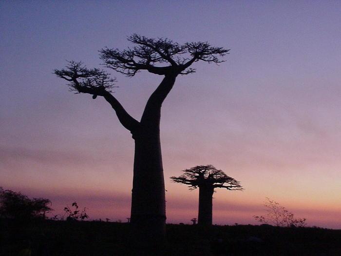 物語の中でバオバブの木は教会の塔のように大きく、ぞうの団体でさえ1本の木に満たないと表現されています。ぞうと比べるなんて、いかに巨木な木なのかがわかりますね。ですが、バオバブも最初からとてつもなく大きかったわけではありません。 王子さまも「バオバブもね、高くならないうちは、まず、小さい木なんだよ」と物語の中で言っています。高さ40メートルにも育つバオバブの木も初めは他の植物のように、小さな苗木だったんですよ。