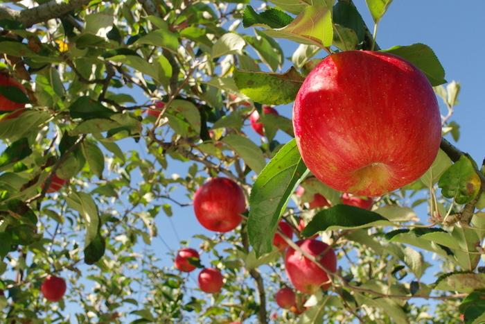 りんごは色艶がいいものほど、味が濃くて、甘味が強いそうです。りんごの底の部分が黄色がかって見えるようになったら、食べごろのサインです。指ではじくと「こんこん」という可愛らしい音を立てるものは新鮮な証拠です。フレッシュなりんごの食べごろを見極めて、美味しくいただきたいですね。