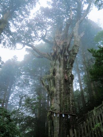 境内には樹齢3千年を超えるご神木も。巨大な木々のパワーを浴びて、エネルギーをチャージしましょう。