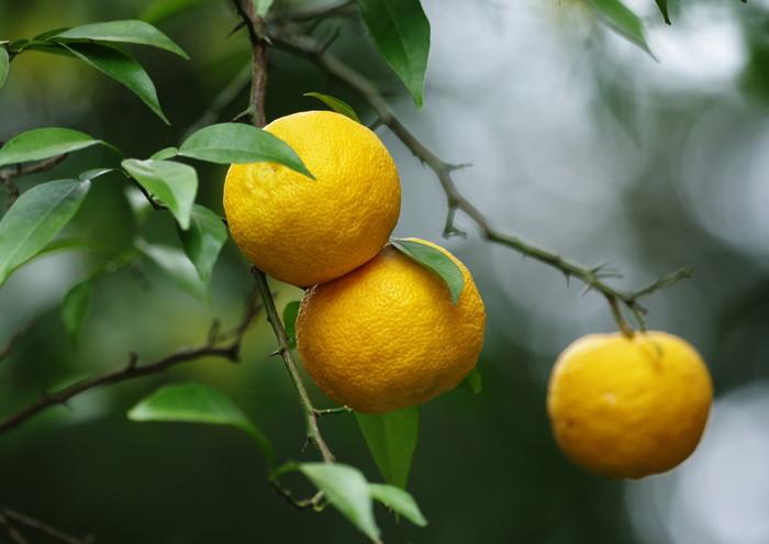 果実の香り高く、果汁は酸味が強いのが特徴です。 一般に「柚子」という場合これをさします。 日本では高知県でもっとも多く生産されているそうです。