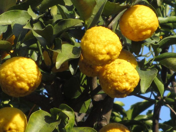 花柚子は本柚子よりも少し小さな柚子です。 花の香りは本柚子と変わりませんが、果実の香りは本柚子にやや劣るそうです。 価格も手ごろでスーパーなどでは柚子として売られているかもしれません。 こちらもマーマレードなど、柚子と同じように使える柚子です。