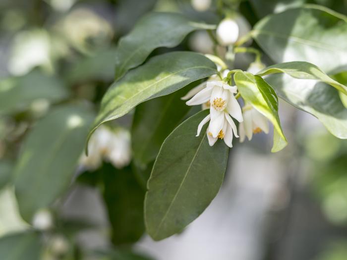こちらが花柚子の花。 可愛らしい小さな花なので、観賞用としてもいいですね♪ 花の香りが強いので、料理のつけ合せなどにも用いられています。
