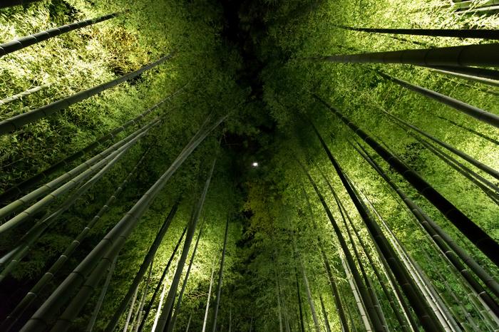 高台寺境内にある竹林も必見です。天を覆う背の高い青竹の葉がライトを浴びて輝き、漆黒の闇夜に浮かび上がる様は幻想的で、この世のものとは思えないほどの美しさです。