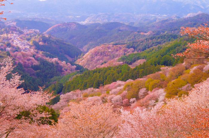 無数の桜が競うように咲き誇る吉野山では、3月末から4月末頃にかけて山全体が桜色に染まります。