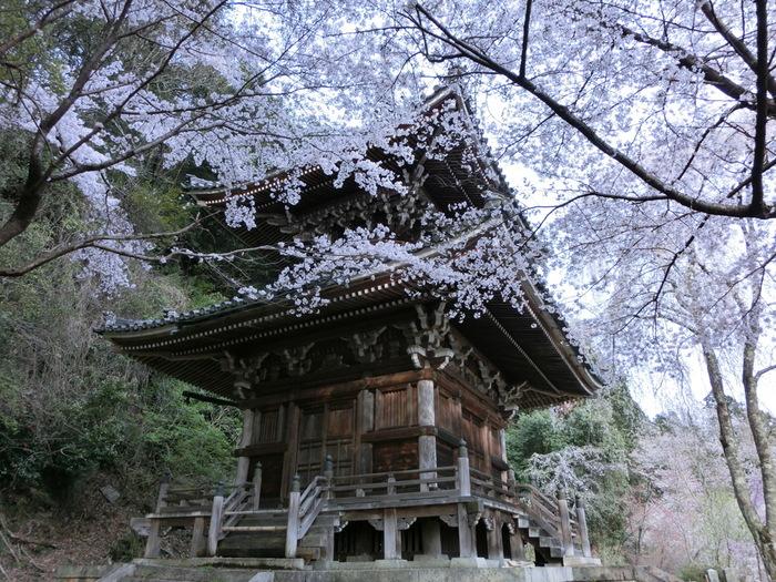 10世紀初頭に創建された浄土宗の寺院、如意輪寺には樹齢約150年の桜の老木があります。春になると、満開の花を咲かせ、この地を訪れる人を、美しい姿で魅了します。