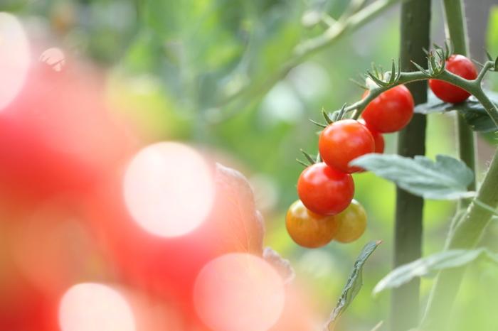 お家で栽培していると「たくさん実ったけれど甘くなかった」「一気に収穫して使い切れない」なんてことよくありますよね。そんな時もレシピ次第で、おいしく賢く消費できますよ♪