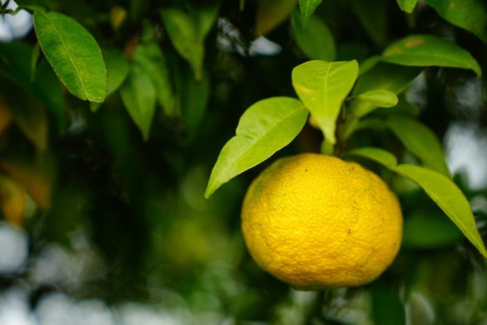 まるまる使い切ろう。「ゆず(柚子)」の活用法・美味しいレシピ